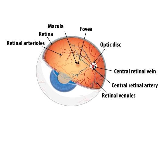 r_eyeball_retina